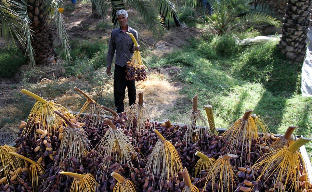 سود دسترنج ۳ میلیون نخلدار در جیب ۱۰۰ دلال!/ تولیدِ خرمای کشور، ۵ برابر افزایش یافت