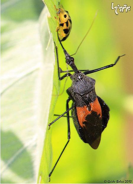خطرناکترین حشرات دنیا که سلامتی شما را تهدید می کنند!+ تصاویر