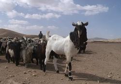 بزی هم قد الاغ و هم قیمت یک اسب اصیل + فیلم