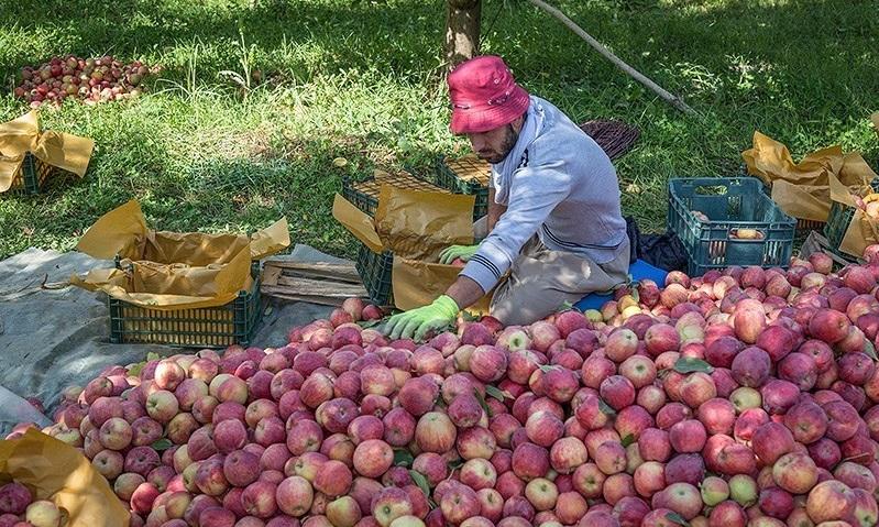 تولید بیش از ۳۰ هزار تن سیب درختی در قوچان/ ارسال ۶۰ درصد محصولات سیب مرغوب قوچان به خارج از استان