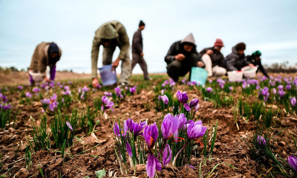 روز/ رشد 10 درصدی تولید زعفران در سال جاری/افزایش قیمت زعفران امری بدیهی است