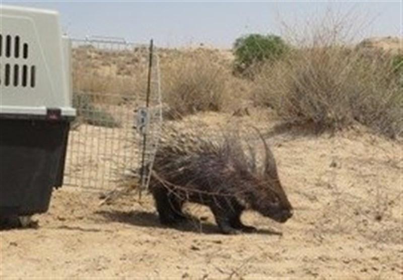 رهاسازی جانور سرتشی و دو بهله دلیجه در طبیعت