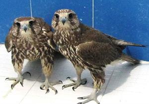 کشف دو بهله پرنده شکاری در اقلید