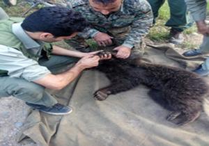 بازگشت یک قلاده توله خرس به زندگی در پناهگاه حیات وحش ساری