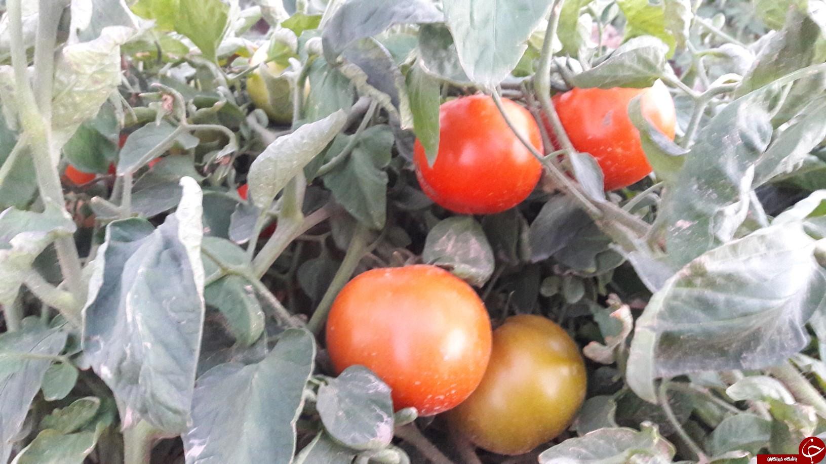 برداشت گوجه خارج از فصل بخش ارم دشتستان(عکس)