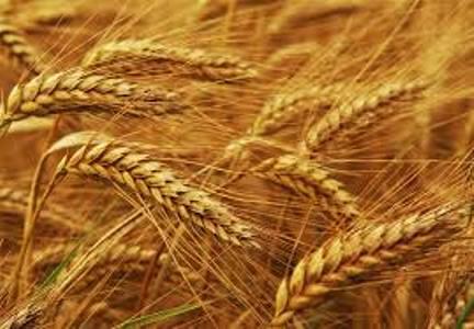 گندم مازندران
