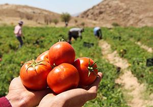 برداشت ۸۵۰ هزار تن گوجه فرنگی در فارس