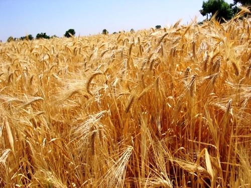 اختصاص بیش از 300 هزار هکتار به کشت گندم در سال زراعی جاری