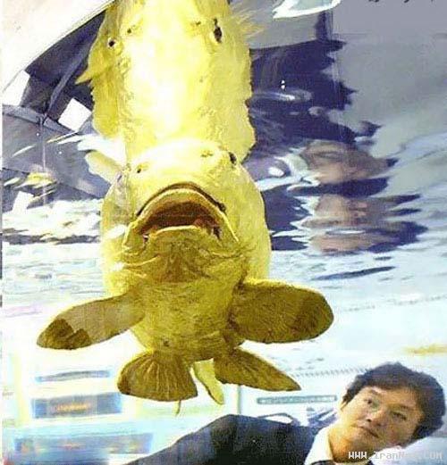 ماهی شگفتانگیز با بدنی از جنس طلای ۲۴ عیار+عکس