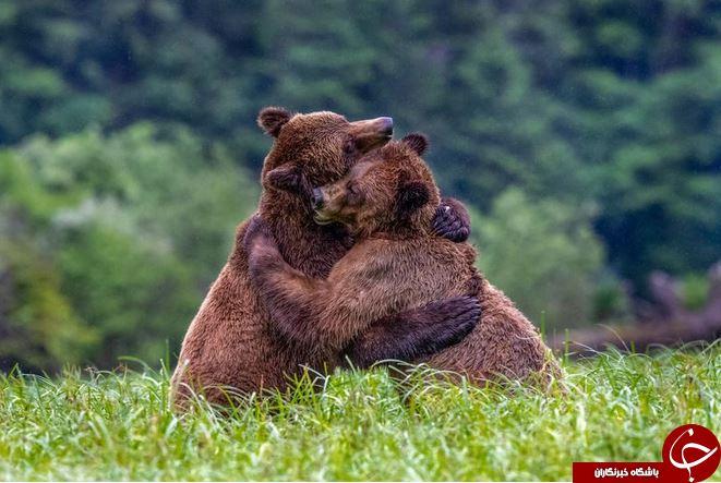 عکس روز نشنال جئوگرافیک از کشتی گرفتن خرسها