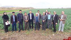 وضعیت مزارع کلزای استان کرمانشاه بسیار مناسب است