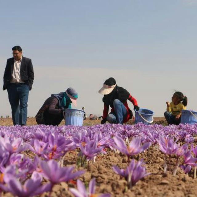 لزوم تشکیل سندیکای صادرکنندگان زعفران