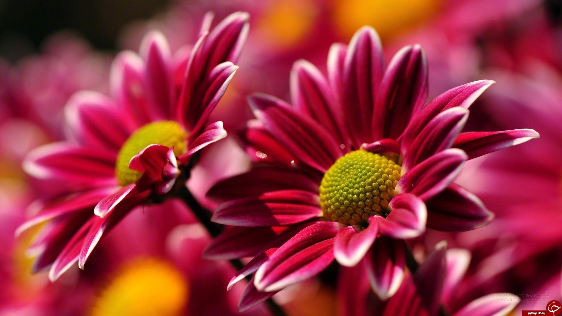 15مورد از بهترین گل ها برای آپارتمان   اسامی و تصاویر