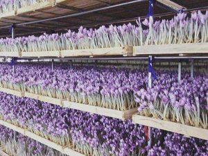 بازپروری برند زعفران ایرانی / دغدغههای سرخ زعفرانی/ تولید تا صادرات زعفران کشوردر دست تدبیر