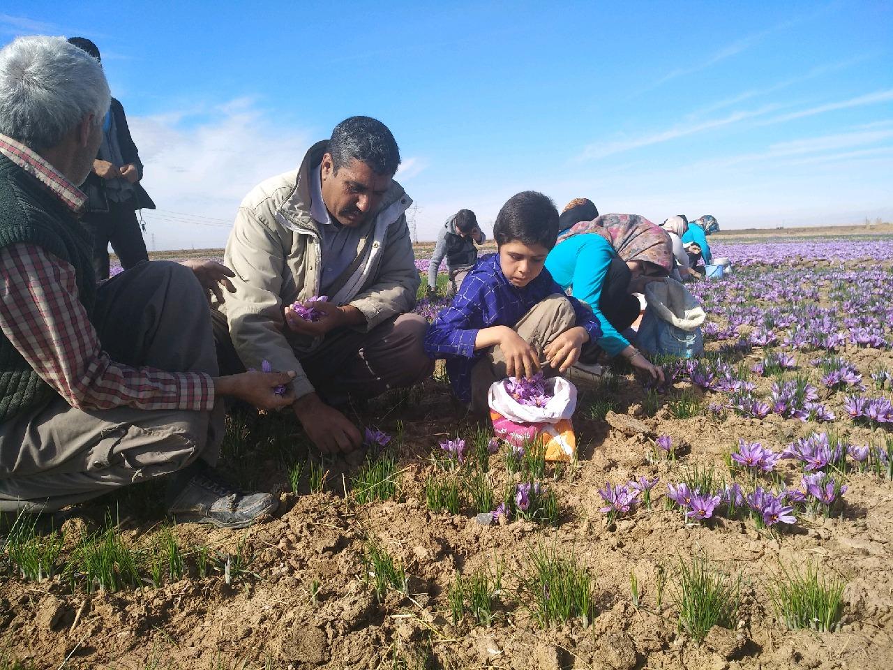 آغاز برداشت زعفران در شهرستان خوشاب