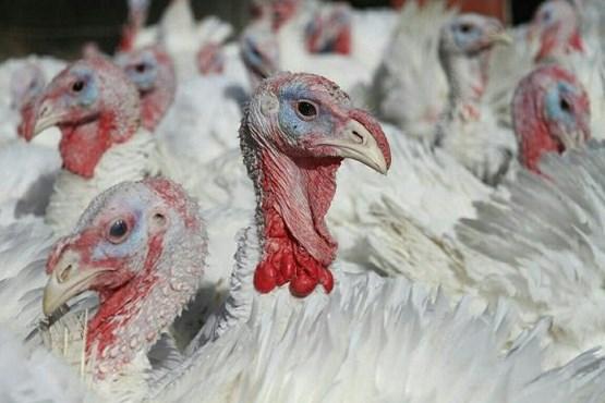 تولید سالانه ۵۰۰ تن گوشت بوقلمون در رزن