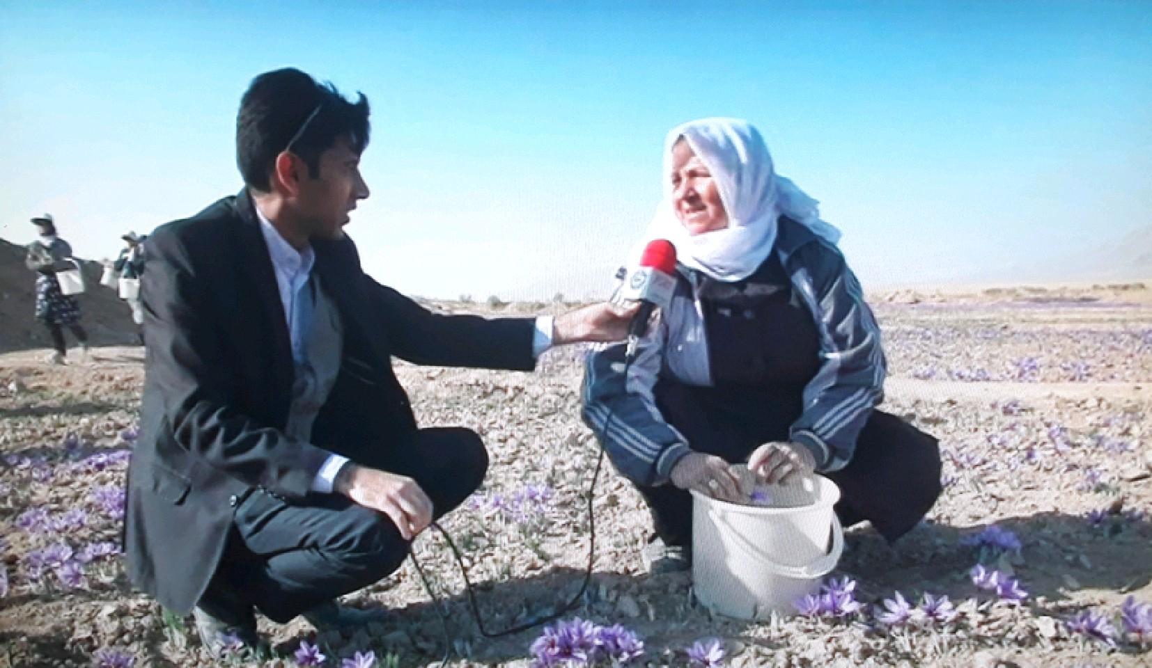 آغاز برداشت زعفران از سطح مزارع قوچان
