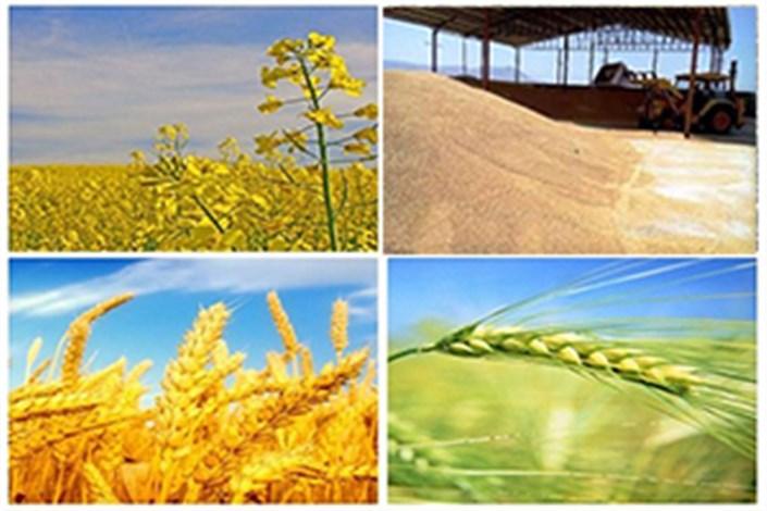 پیشبینی تولید 100هزارتن سویا در سال جاری/ 100 درصد بهای آفتابگردان و گلرنگ پرداخت شد