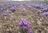 باشگاه خبرنگاران - کشت زعفران در 4 هکتار از اراضی روستای شیروان بروجرد