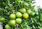 باشگاه خبرنگاران - برداشت ۲۰ هزارتن نارنگی از باغات گلستان