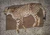 باشگاه خبرنگاران - مرگ یک یوزپلنگ در جاجرم بر اثر تصادف
