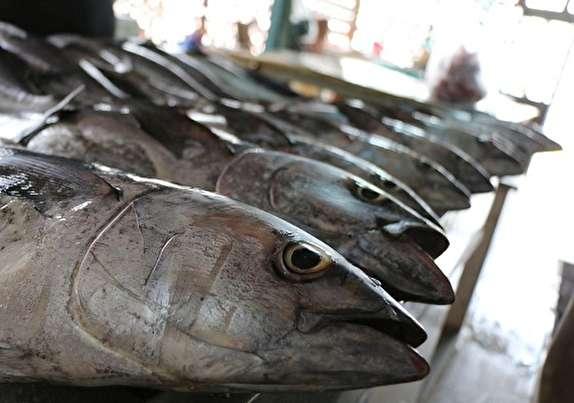باشگاه خبرنگاران - آغاز عرضه مستقیم ماهی زیر قیمت بازار در بندرعباس