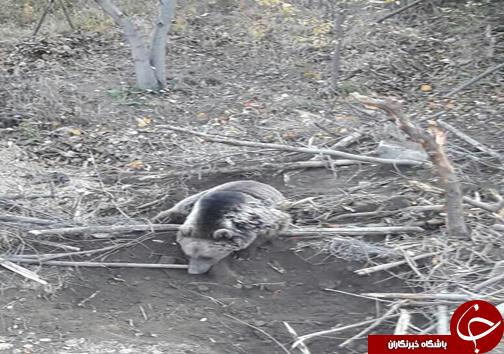 نجات یک قلاده خرس در لاریجان