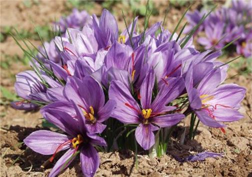 تغییر الگوی کشت زعفران به صورت ارگانیک/ خشکسالی بزرگترین چالش در تولید زعفران استان فارس