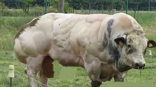 عضلانیترین گاو جهان در بلژیک دیده شد +تصاویر