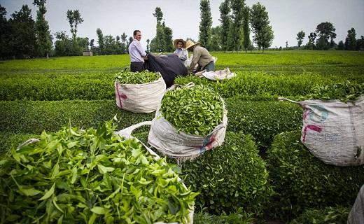 باشگاه خبرنگاران -قیمت انواع چای ایرانی درجه یک در بازار