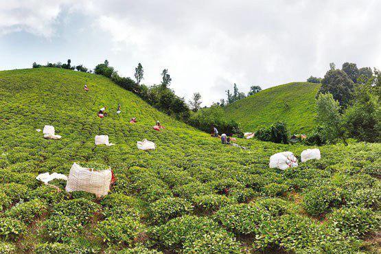 قیمت انواع چای ایرانی درجه یک در بازار