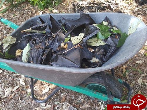 صحنه های ترسناک از مرگ خفاش ها در استرالیا+تصاویر