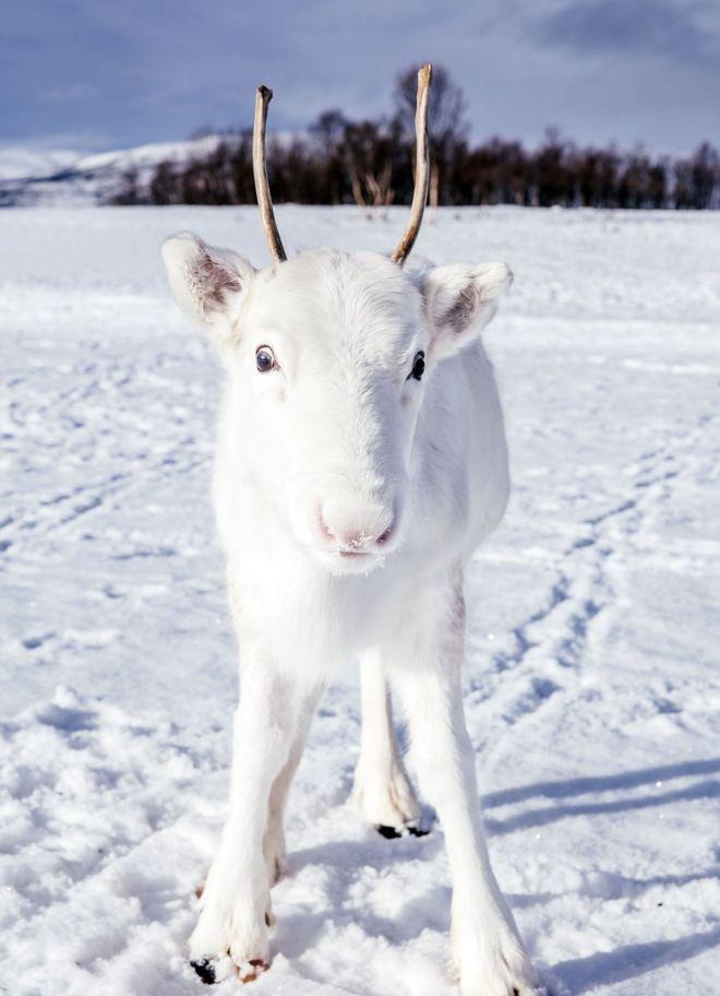 گوزن برفی در میان برفهای شمال سوئد!
