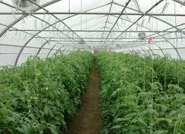 سطح گلخانههای کشور به ۴۸ هزار هکتار میرسد/افزایش ۱۰ برابری تولیدخیار و گوجه فرنگی در فضای گلخانه نسبت به آزاد