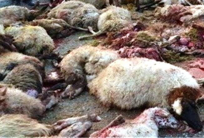 حمله پلنگ به ۱۵ راس گوسفند در فراشبند