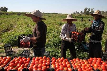 تعاون روستایی گوجه فرنگی کشاورزان بوشهری را توافقی خریداری میکند