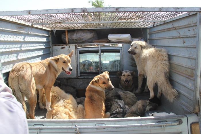 برای ساماندهی سگ های بلاصاحب کرمان نیاز به دکتردامپزشک است
