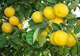 باشگاه خبرنگاران - آغاز برداشت لیمو شیرین از باغهای فارس/فارس مقام نخست تولید محصول لیموشیرین در کشور