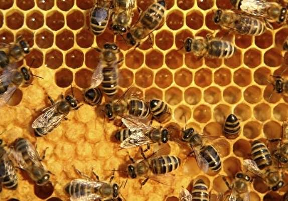 باشگاه خبرنگاران - بیش از یکهزار و 77 تن عسل در استان زنجان تولید شد/ رشد  15 درصدی تولید عسل در استان