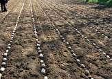 باشگاه خبرنگاران -کشت بیش از ۶ هزار هکتار سیب زمینی در گلستان