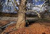باشگاه خبرنگاران - ثبت کهنسال ترین درخت هندوستان ایران در فهرست میراث طبیعی کشور