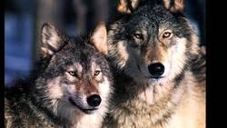 قتل عام فجیع گرگها/شکارچیها قلب حیوانات را خام خام خوردند
