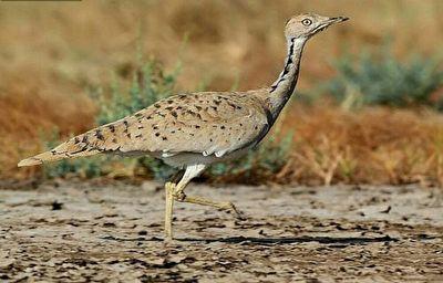 انقراض پرنده 20 میلیون تومانی در کویرهای ایران + فیلم