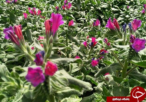 گلستان بهشت تولیدات دارویی / ثروتی که کمتر به آن توجه می شود.