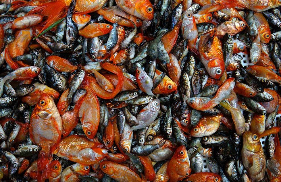 خطرات رها سازی ماهیهای قرمز در طبیعت/ با ماهی قرمزهای هفت سین چه کنیم