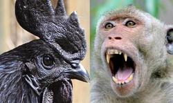 ماجراهای عجیب از اعدام حیوانات/ از سوزاندن خروس شیطانی به جرم تخمگذاشتن تا کشتن میمون جاسوس!