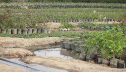 کاشت نهال ۳۰۰ در روستای مقصود آباد