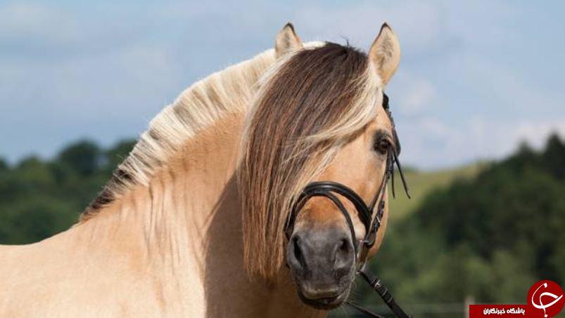 از شباهت اسب و انسان چه میدانید؟! / تغییر حالت چهره توسط اسب ها!