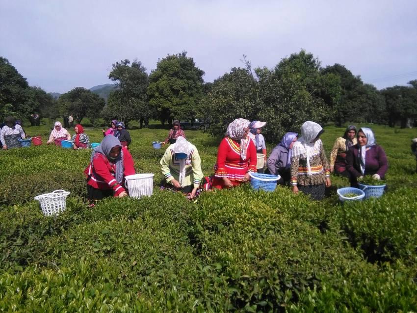 توضیحات رئیس سازمان چای کشور در خصوص افزایش قیمت چای