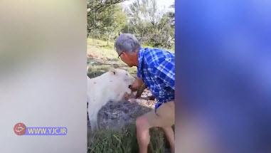 لحظه حمله شیر به گردشگر! +فیلم